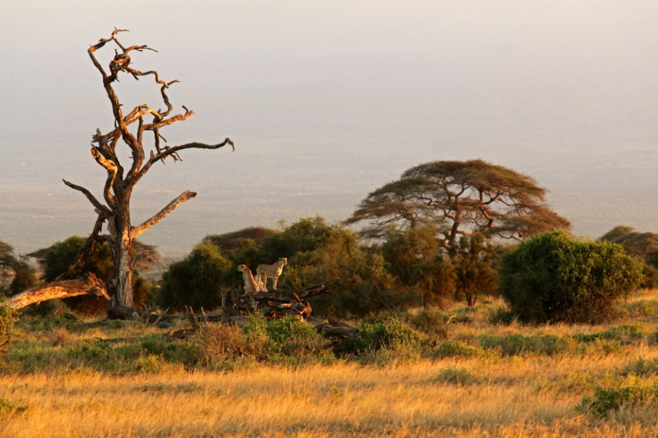Geparden im Amboseli Nationalpark