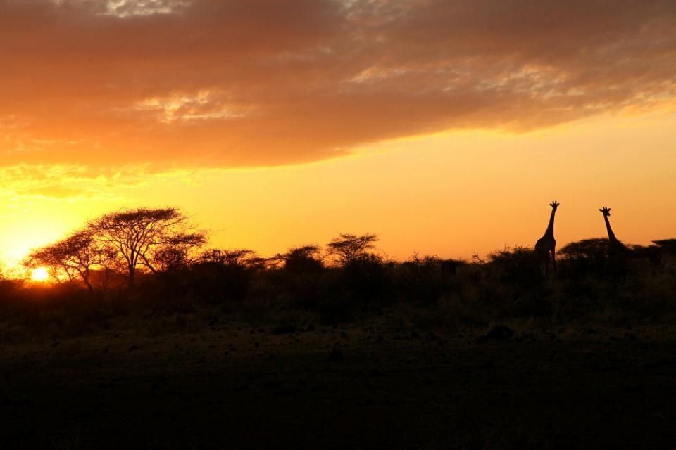 Giraffen im Abendlicht