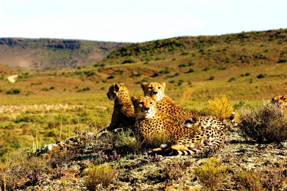 Geparden im Sanbona Wildlife Reserve