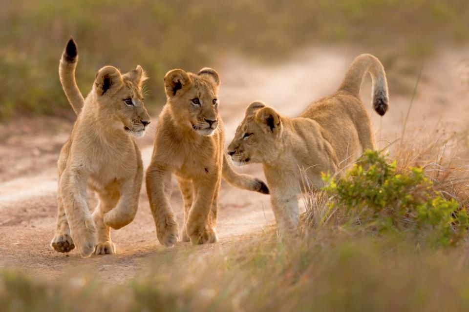 Löwen im Kariega Game Reserve