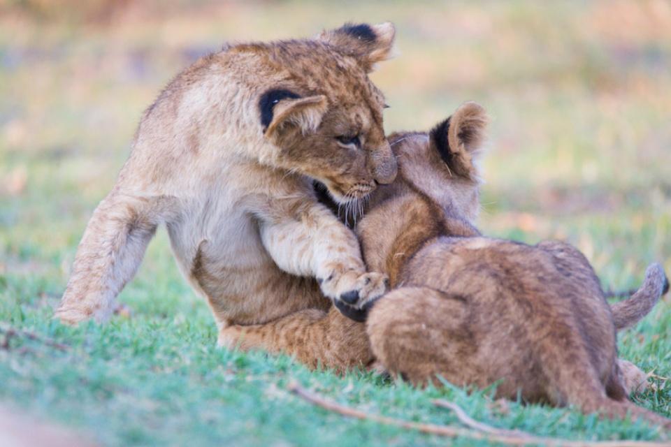 Bushways Safaris, Löwen