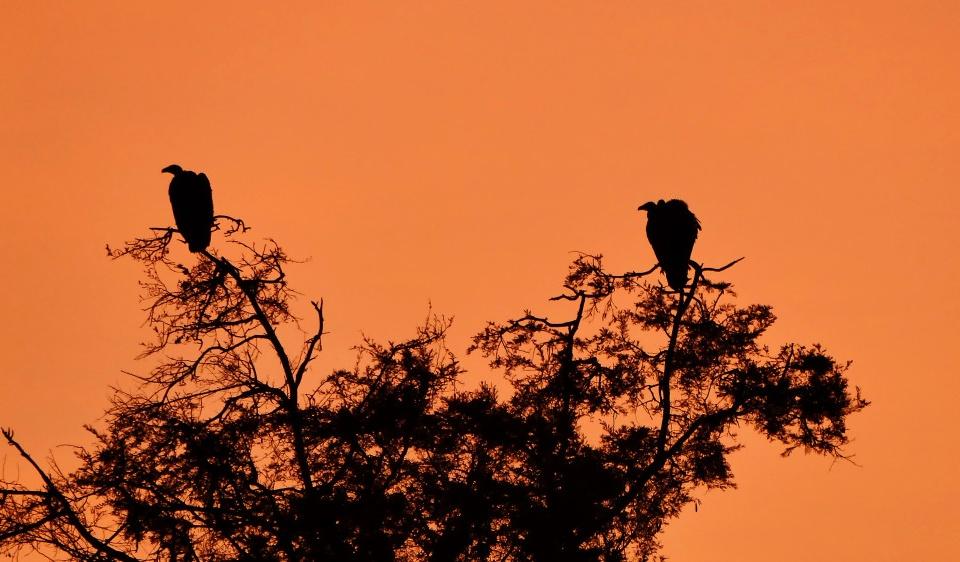Geier bei Sonnenaufgang