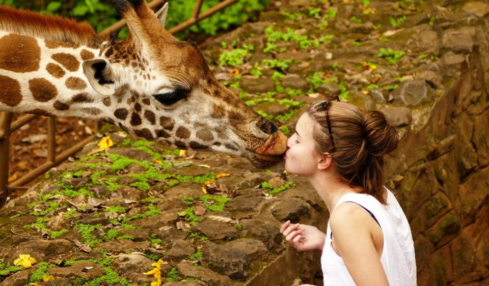 Kuss einer Giraffe in Nairobi