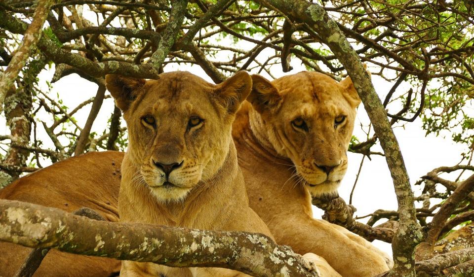 Löwen im Baum, Kenia