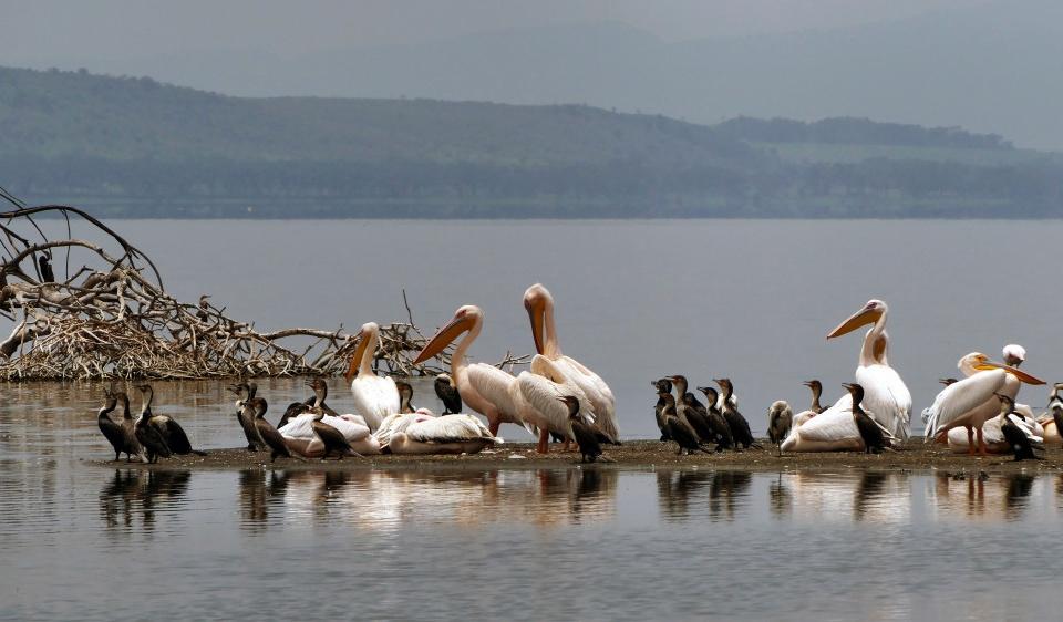 Pelikane am Bogoria See