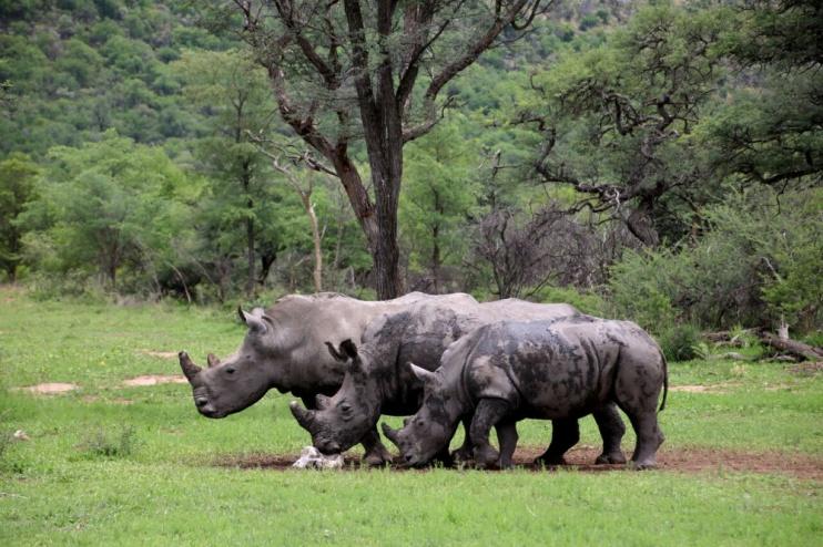 Nashörner auf der Farm