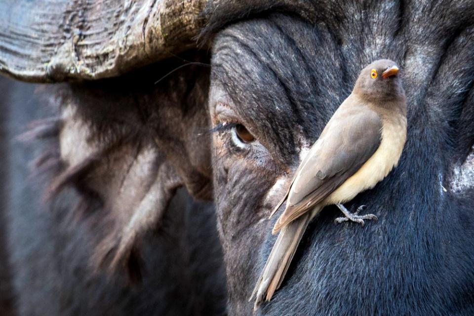 Wasserbüffel mit Madenhacker