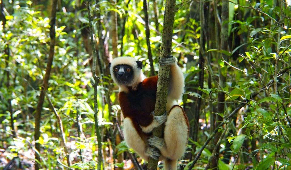 Ein neugieriger Lemur