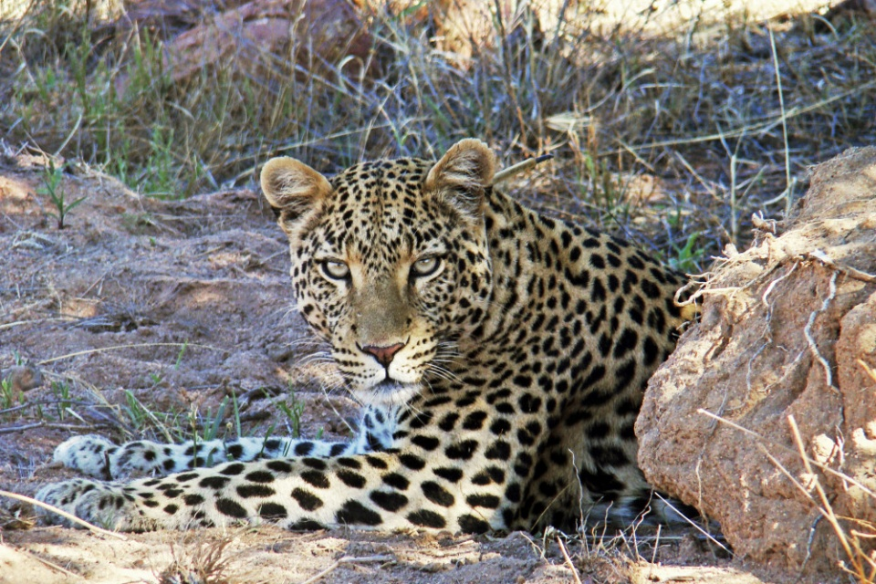 Leopardsichtung im Okonjima Nature Reserve