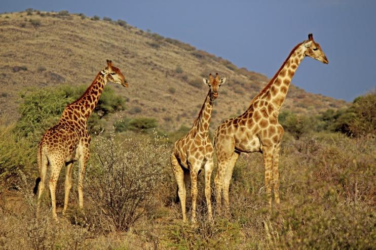 Giraffen, Pirschfahrt
