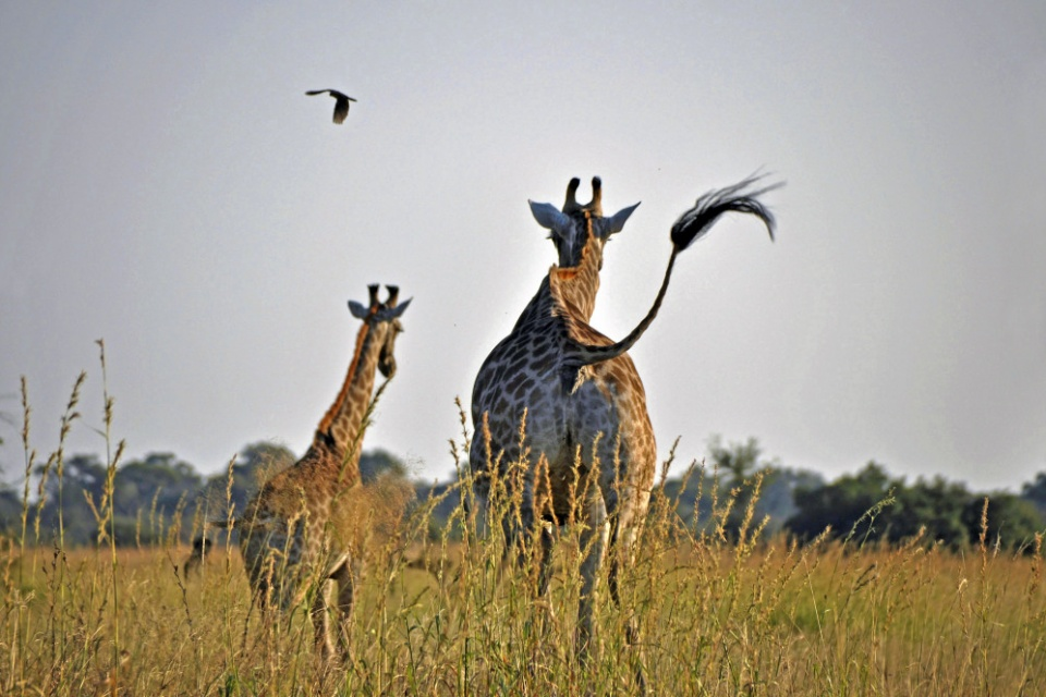 Giraffen im Mahango Game Reserve