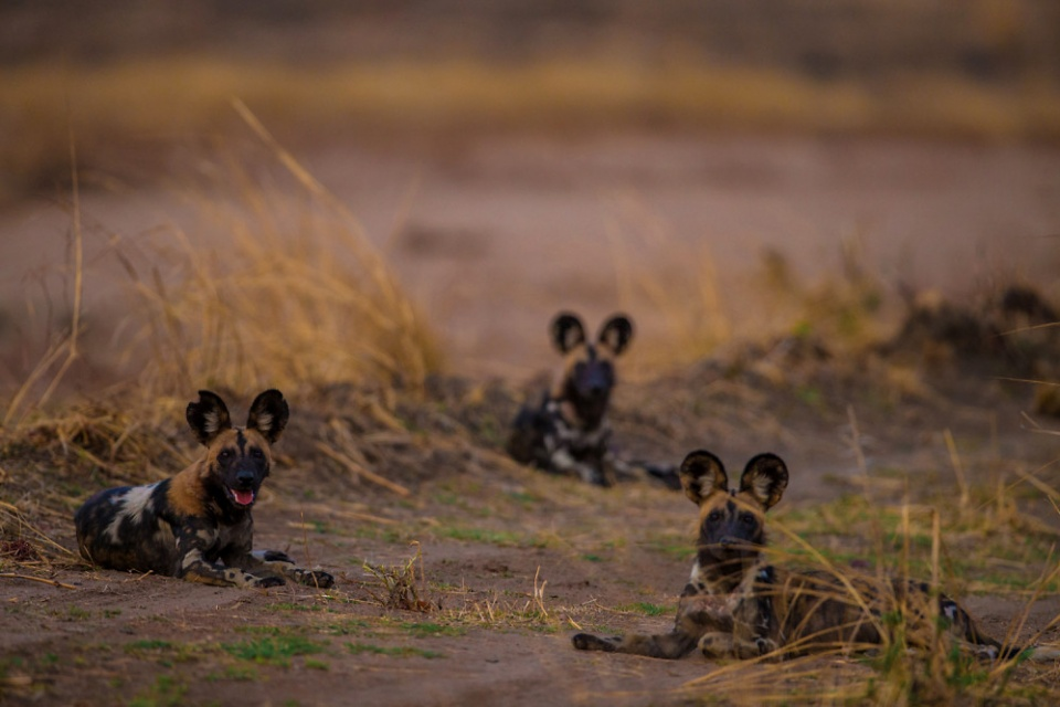 Afrikanische Wildhunde im Luambe Nationalpark
