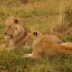 Löwenpaar in der Kwara Konzession im Okavango Delta