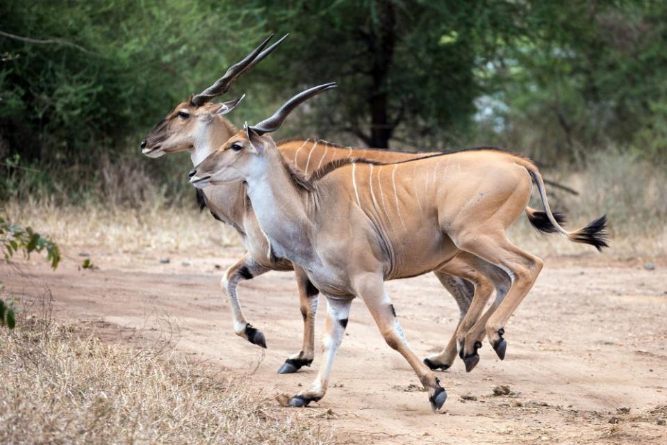 Antilopen im Majete Wildreservat Majete