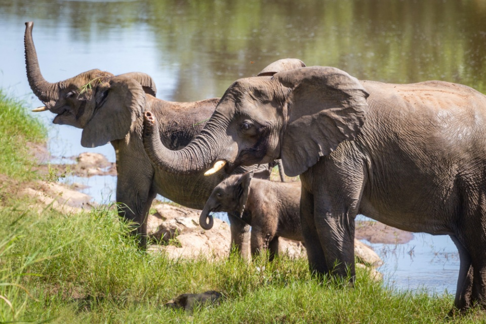 Elefanten im Nkhotakota Wildreservatq