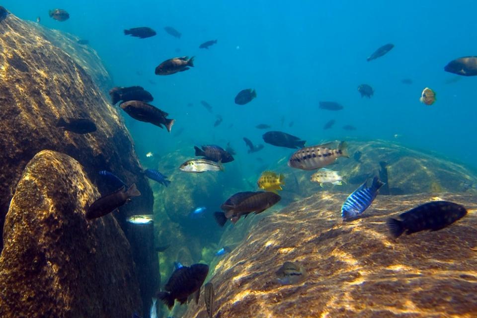 Unterwasserwelt des Malawisee