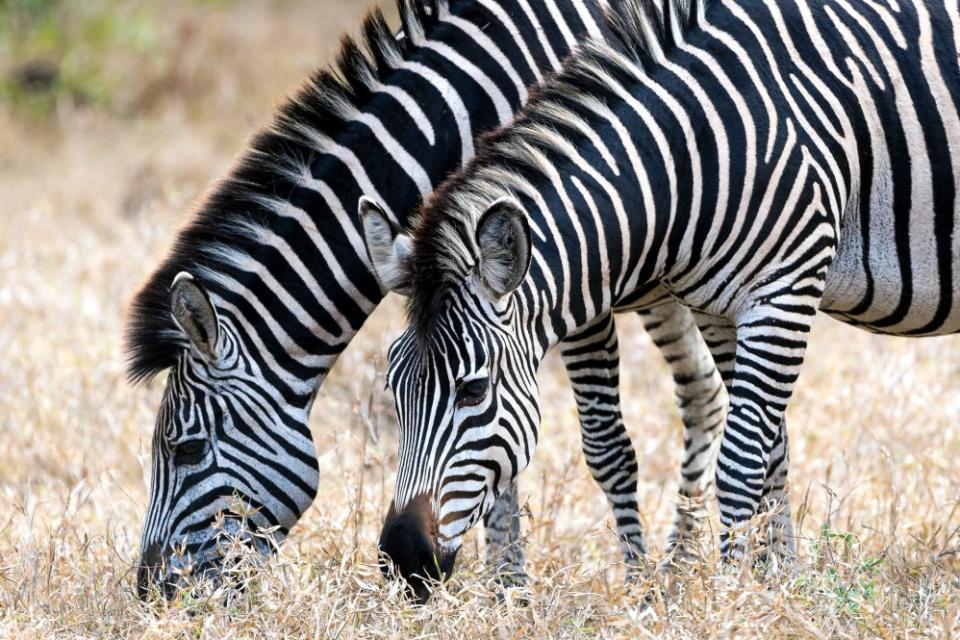 Zebra im Majete Wildreservat