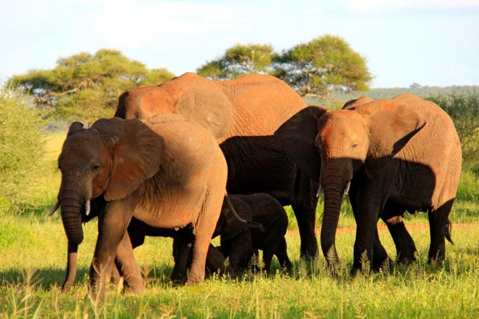 Typische Elefantenherde im Tarangire Nationalpark
