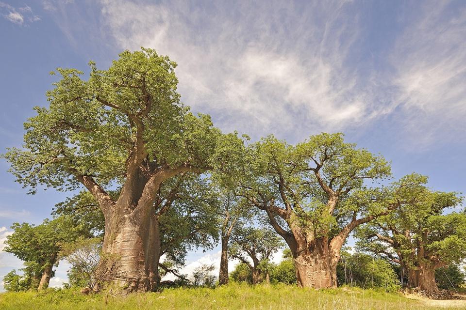 Botswana-Nxai-Pan-Nationalpark-Baines-Baobabs-Kwando Nxai Pan Baines Baobabs