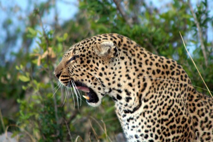 Leopard im Busch