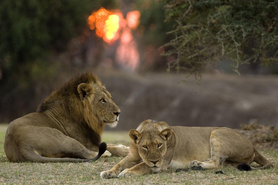 Löwenpaar im Luangwa Tal