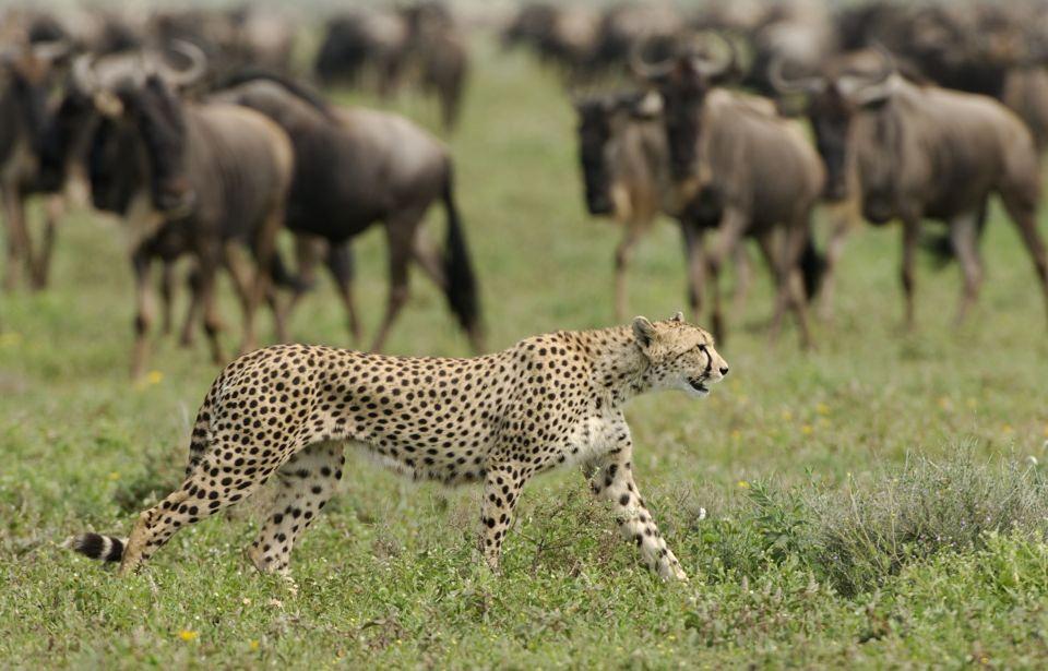 Tansania-Serengeti-Nationalpark-Gepard-und-Gnus-EAT_2019_6NTZ_Nomad_Tanzania_Serengeti_Nationalpark_Gepard_und_Gnus_11349708165_0b03f5cb3f_o