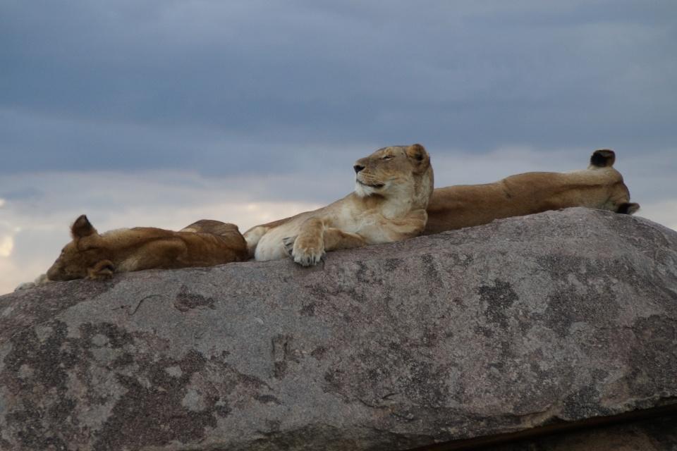 Tansania-Serengeti-Nationalpark-Mara-Fluss-Löwenrudel-DSC01368