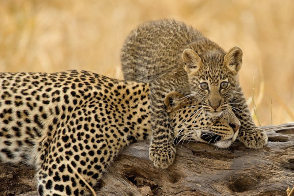 Leoparden im Tarangire Nationalpark