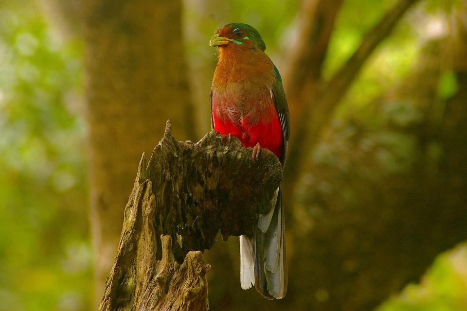 Narinatrogon im Phophonyane Nature Reserve