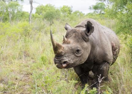 Nashorn im Mkhaya Game Reserve