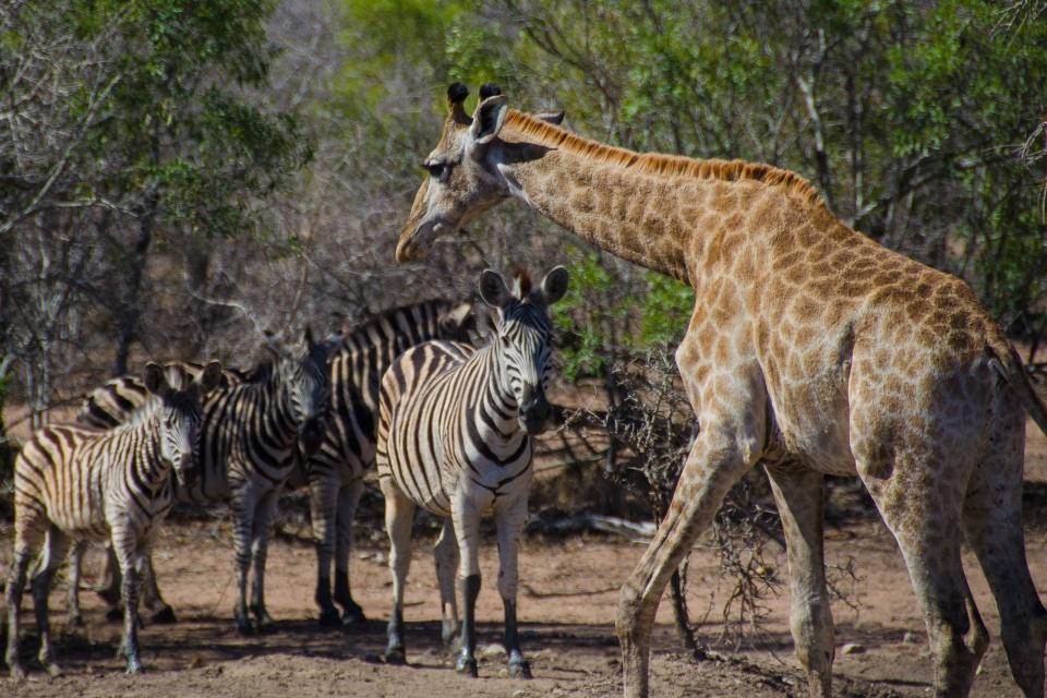 Giraffe und Zebras im Mkhaya Game Reserve