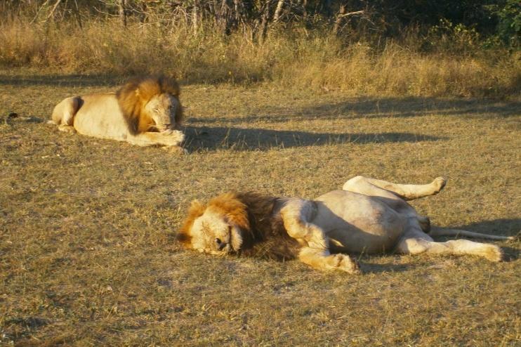Entspannten Löwen im Sabi Sands Game Reserve