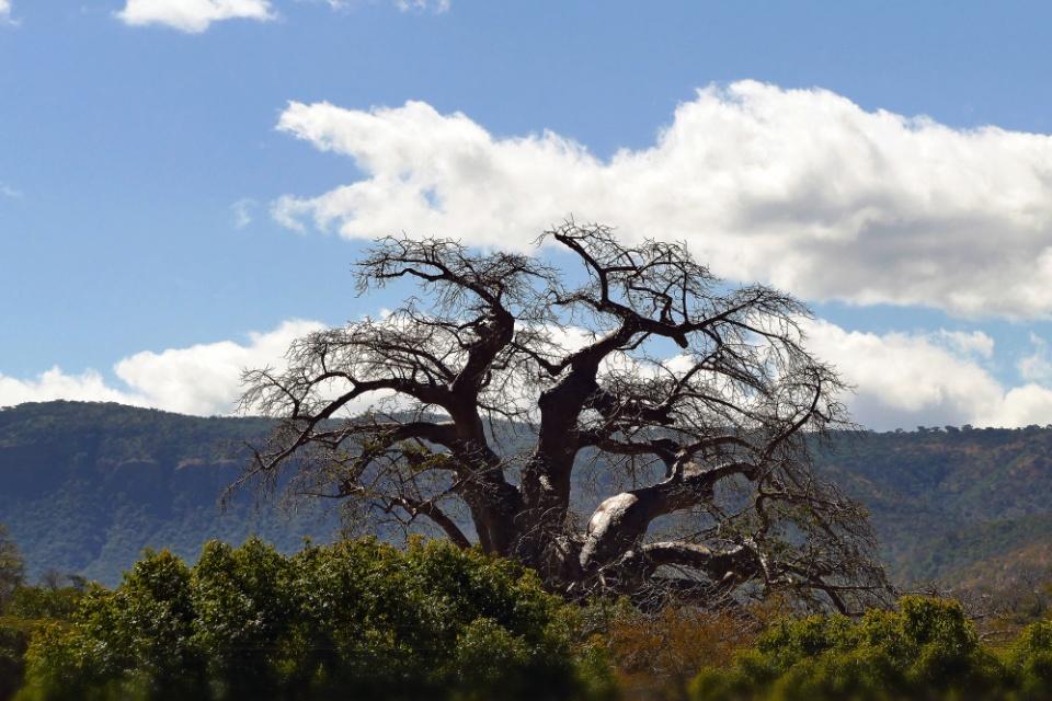Baobab bei Mutare